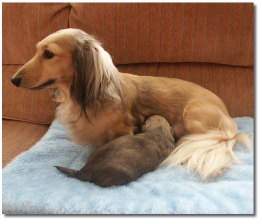 mini long haired dachshund puppies. mini long haired dachshund