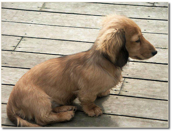miniature long haired dachshund puppy. Miniature Longhaired Dachshund