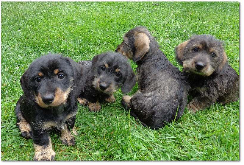 The puppies and young adult Dachshunds of Joskip Perm. Reg.